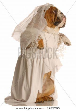 Bulldog Bride Standing Up