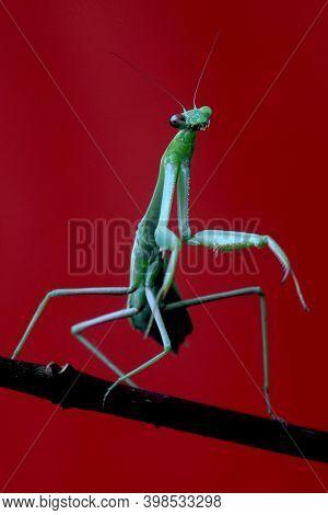 Detailed Green Praying Mantis on Red Background