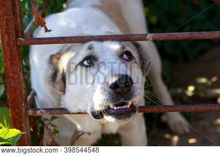 Big Dog Breed Alabai In A Metal Cage