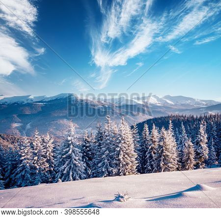 Incredible winter spruces in snow on a frosty day. Location place Carpathian mountains, Ukraine, Europe. Wallpapers of christmas holiday concept. Nature photography. Happy New Year! Beauty of earth.