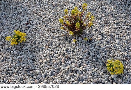 Three Yellow Perennial Flowers In A Pebble Flowerbed Bloom In Early April And Is Usually Attached To