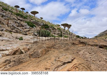 Beautiful Landscape With Endemic Plant Dragon Blood Tree In The Island Socotra, Yemen