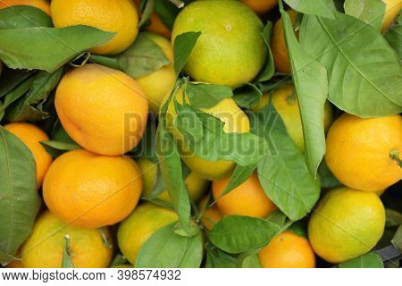 Orange Tangerine Fruits With Green Leaves. Tangerine Harvest. Organic Farming Concept.