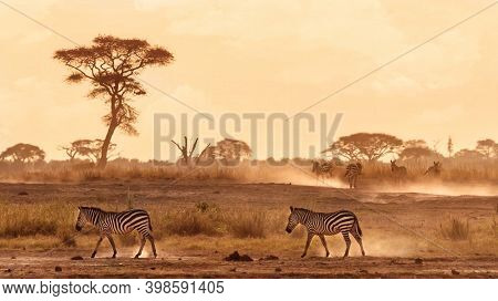Zebras walking in the dust of Amboseli, Kenya. warm tones with space for text.