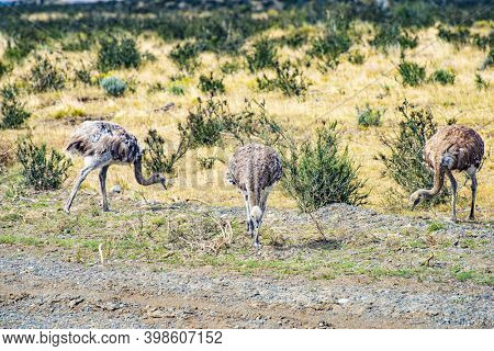 Greater rhea (Rhea americana) or nandu is a ostrich like flightless bird living in Southamerican pampas. Torres del Paine national park, Chile