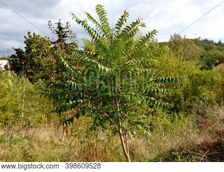 Sumac In Autumn, When Its Pinnate Leaves Are Bright Yellow, Orange To Red. At The Same Time, Cone Fr