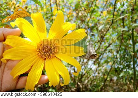 A Sweet Yellow Tree Marigold Or Mexican Sunflower Blossom On A Female Hand With Day Light And Blurre