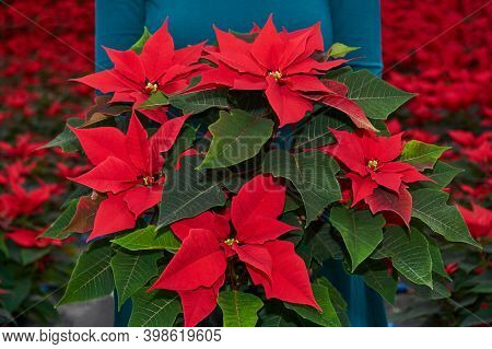 Bouquet Of Red Poinsettia Flowers, Otherwise Called The Christmas Star Or Bartholomew Star, In Women