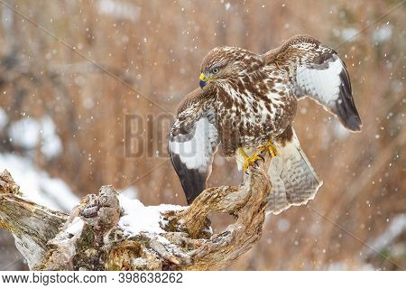 Majestic Common Buzzard Sitting On Branch With Open Wings In Snowy Atmosphere