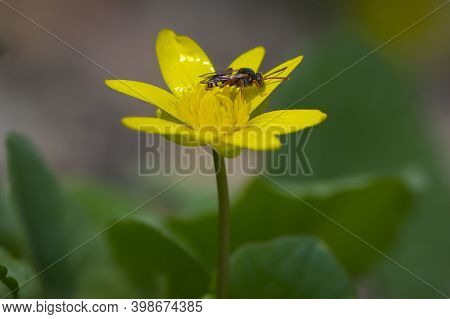 Wasp Sits On A Yellow Flower. A Small Wasp Sits On A Yellow-green Bush. Insect In The Wild. Close-up