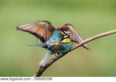 The European Bee-eater (merops Apiaster) Mating Pair On Tree.pair Of Birds With Green Background Dur
