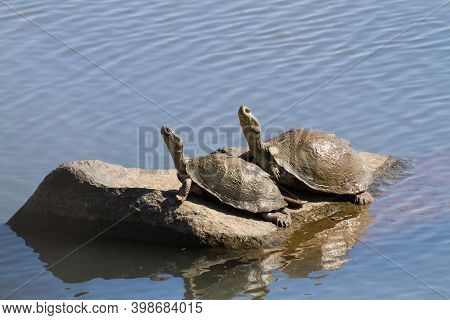A Pair Of Serrated Hinged Terrapin (pelusios Sinuatus) Basking In The Sun On A Rock Together In Krug