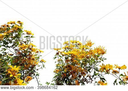 In Selective Focus Sweet Yellow Tree Marigold Or Mexican Sunflower Blossom With A Tree And Branches