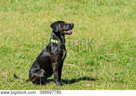 Black Pointer Sitting On A Green Grass