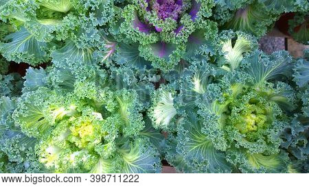Ornamental Cabbage. Flowering Kale. Garden Trends. Brassica Oleracea Glamour Red And Chidori White V