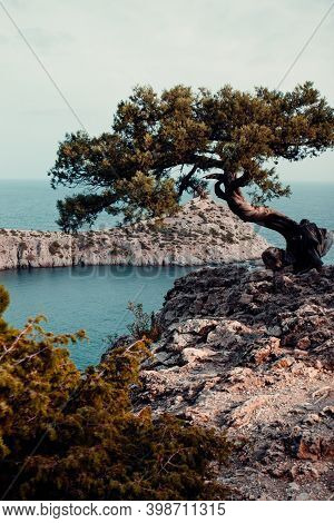 A Single Relict Pine Tree Grows On A Cliff Above The Sea In The Rays Of The Setting Sun. Vertical Ph
