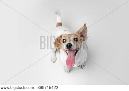 Crazy Happy. Jack Russell Terrier Little Dog Is Posing. Cute Playful Doggy Or Pet Playing On White S