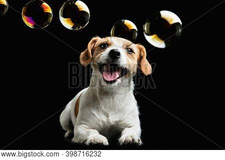 Childhood. Jack Russell Terrier Little Dog. Cute Playful Doggy Or Pet Playing On Black Background Wi