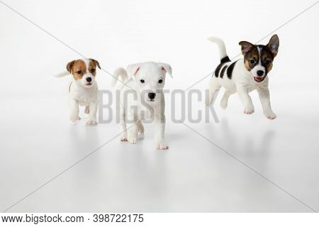 Little Young Dogs Posing. Cute Playful Brown White Doggies Or Pets Playing On White Studio Backgroun