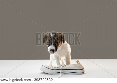 Cute And Little Doggy Posing Cheerful With Human Shoe. Cute Playful Brown White Doggy Or Pet On Gray