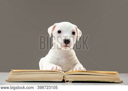 Cute And Little Doggy Posing Cheerful, Reading Book. Cute Playful White Doggy Or Pet On Gray Studio