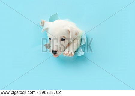 Cute And Little Doggy Running Breakthrough Blue Studio Background Purposeful And Inspired, Attented.