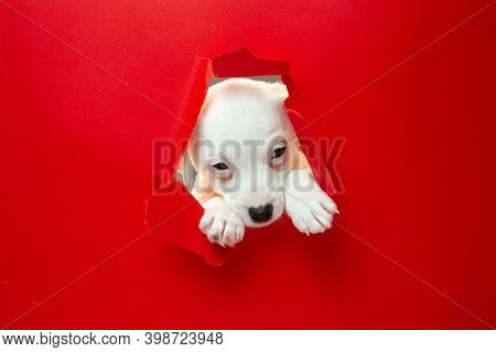Cute And Little Doggy Running Breakthrough Red Studio Background Purposeful And Inspired, Attented.