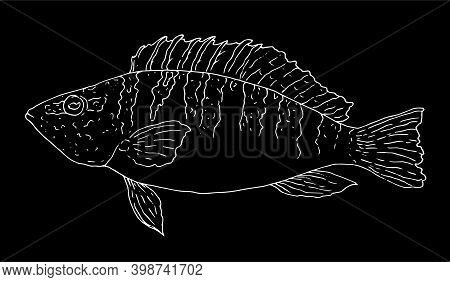 A Hand-drawn Ink Sketch Of The Perch Serranus Scriba Is Drawn With A White Outline On A Black Backgr