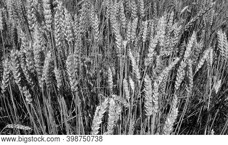 Agricultural Rye Filed Background. Seasonal View And Scene