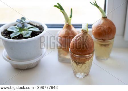 Growing Green Onions In Winter From A Sprouted Bulb Planted In A Glass With Water. Healthy Eating Co