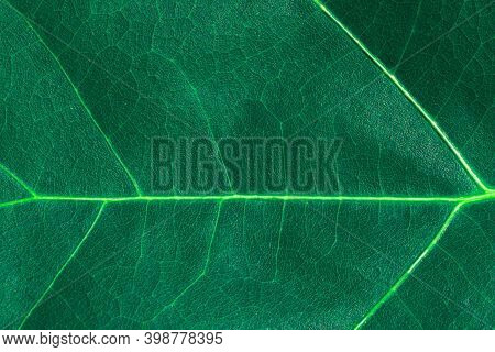 Background And Texture Of Dark Green Leaf Of Wood With Veins. Green Oak Leaves With Veins, Backgroun