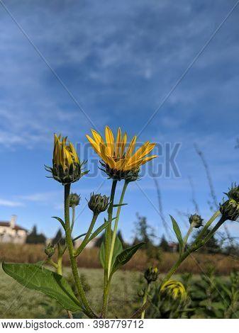 The Jerusalem Artichoke Flowers  In The Farmland