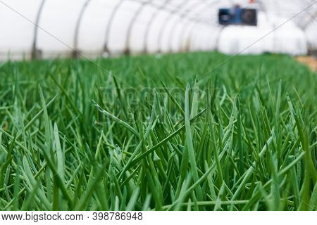 Scallions Growing In Agricultural Greenhouse, Green Leaves Close-up