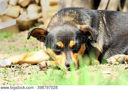Dog Lies On Ground Or Grass. Perspective From The Ground. Cute Animal