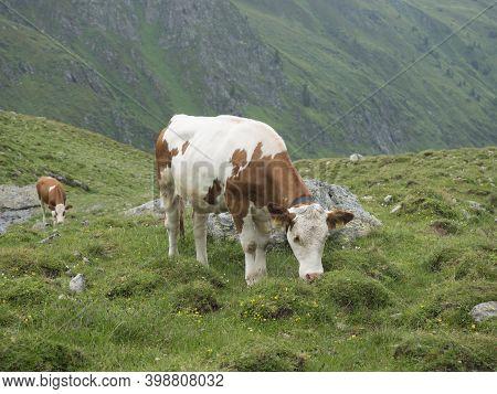 Close Up Of Grazing Cow At Alpine Meadow In Stubaital Valley. Summer. Tirol Alps, Austria