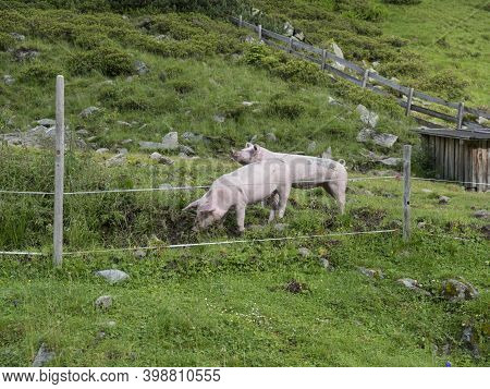 Couple Of Pink Domestic Pigs Grazing In A Mountain Meadow In Tirol Austrian Alps