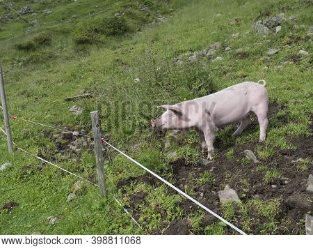 Close Up Pink Domestic Pig Grazing In A Mountain Meadow In Tirol Austrian Alps