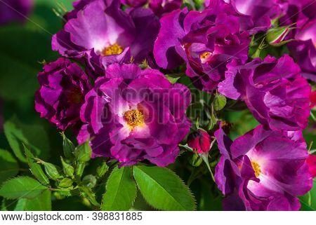Phapsody In Blue Cultivar, Purple Shrub Rose By Cowlishaw, 2003. Fragrant, Semi-double Flowers Of De