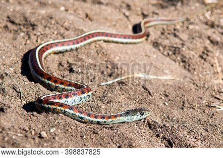 California Red-sided Garter Snake In Sand Found On Northern California Coast