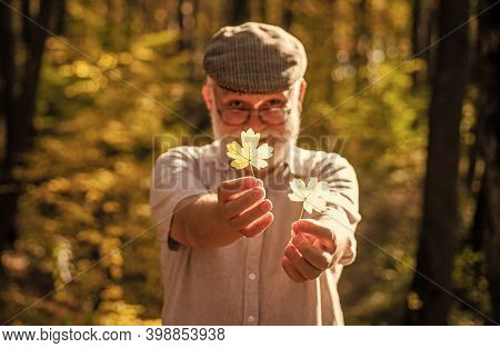 Botanist Examine Herbs. Bearded Grandfather In Forest. Man Enjoy Autumn Nature. Curiosity To Botany.