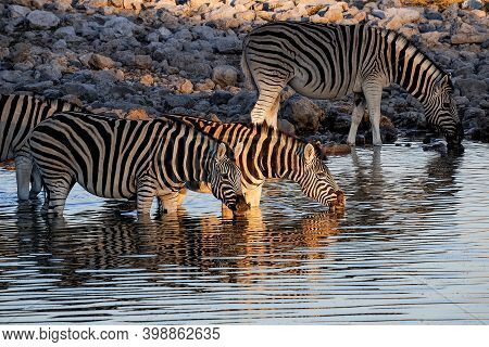 Burchells Zebras Drinking In A Waterhole In Northern Namibia