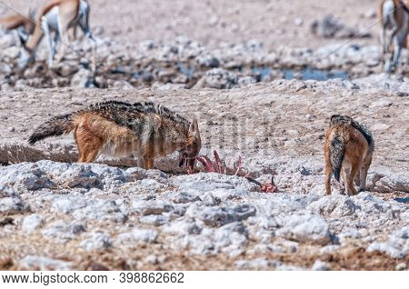 Black-backed Jackal, Canis Mesomelas, Feasting On A Carcass