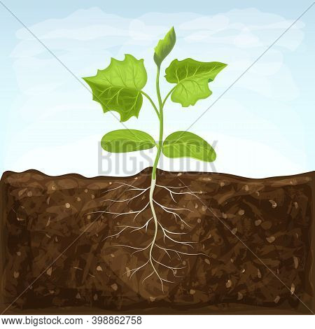 Young Seedling Of Vegetable Grows In Fertile Soil. Sprout With Underground Root System In Ground On