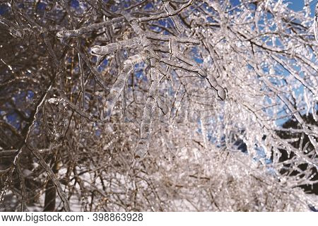 Winter Forest, Icy Twig Close-up. A Thick Layer Of Ice On The Twigs. Russian Winter. Vladivostok.