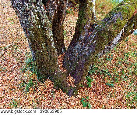 Multi Trunk Tree - A Large Moss-covered Aspen Tree At Ona State Park - Oregon Coast - Near Seal Rock