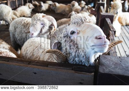 Feeding Merino Sheep By The Wooden Fence