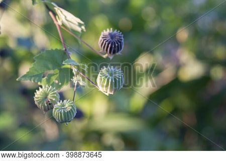 Indian Mallow, Chinese Bell Flower Or Country Mallow (abutilon Indicum) On Tree With Sunlight In The