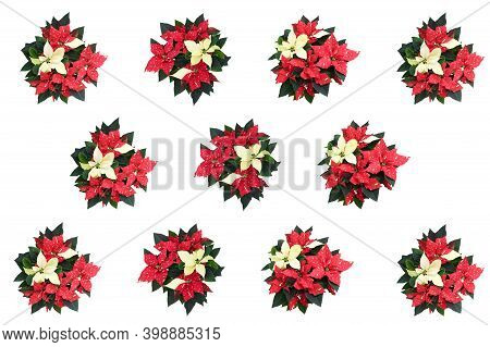 Seamless Beautiful Nature Fresh Red-white Poinsettia Flower Or Christmas Star Blossom With Green Fol