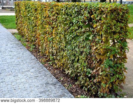 Autumn Foliage Of A Hedge Trimmed Hornbeam Fence In The Park. The Natural Growth Of The Egg-shaped A