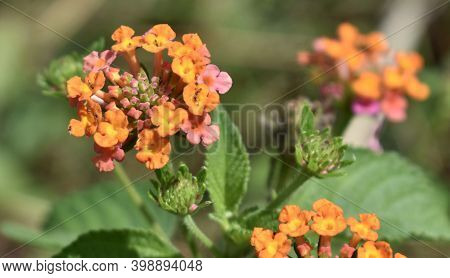 Multi-coloured Lantana Flowers Growing In A Tropical Garden